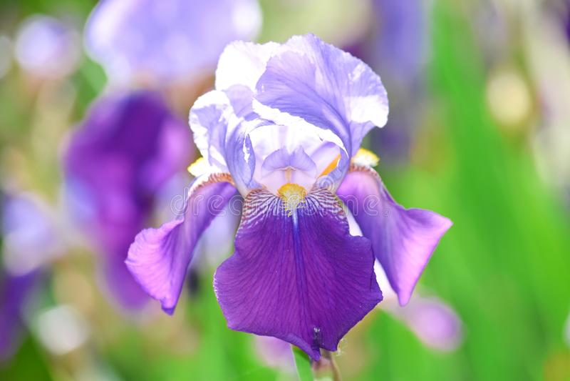 虹膜紫罗兰色花家庭菜园股票Pfoto细节特写镜头 库存照片