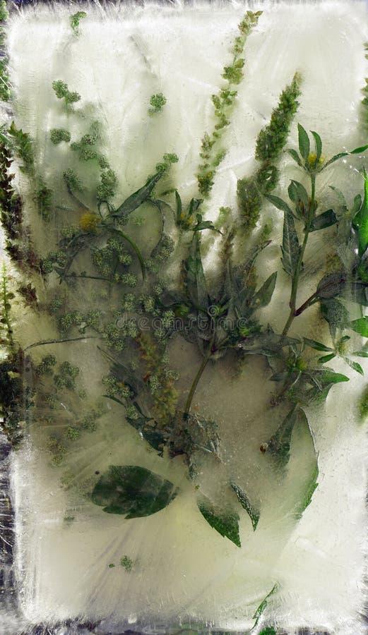 蒿木在冰结冰的苦艾酒叶子背景  免版税库存照片