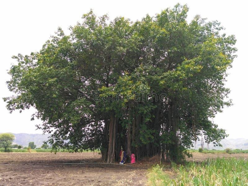 È albero di banyan fotografia stock
