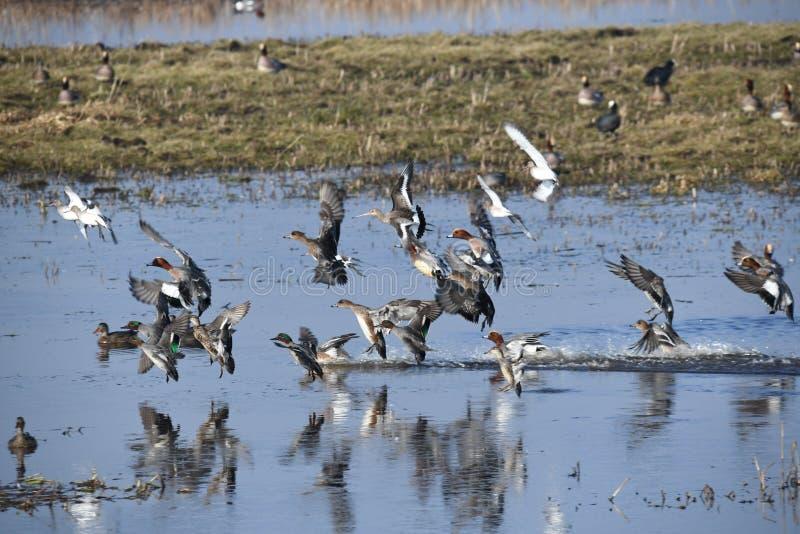 È l'inverno nei Paesi Bassi, è februari quando tutto il genere di uccelli differenti e le anatre visitano questo erea immagini stock libere da diritti
