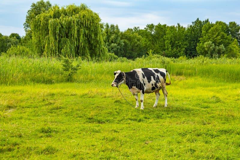 È nero- la mucca bianca è pascuto su un prato verde immagine stock