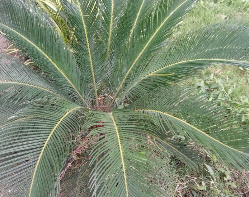 È pianta della noce di cocco fotografia stock