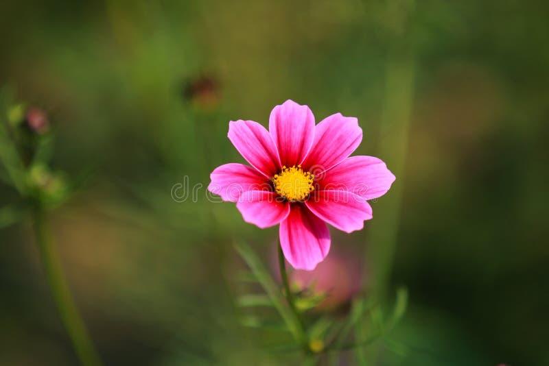 È in piena fioritura con i bei fiori persiani nel parco fotografia stock