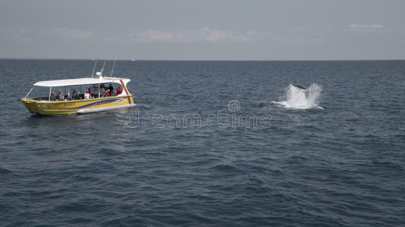 3ème de observation de baleine, septembre 2017, BAIE de HERVEY, QUEENSLAND, AUSTRALIE image stock