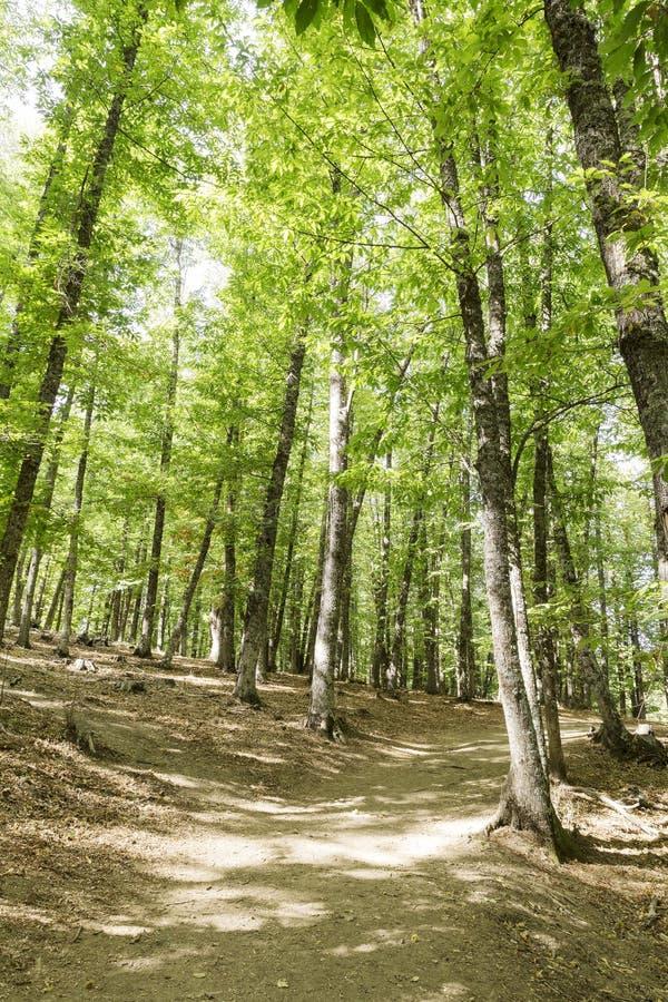 道路在栗树一个老绿色森林里  图库摄影