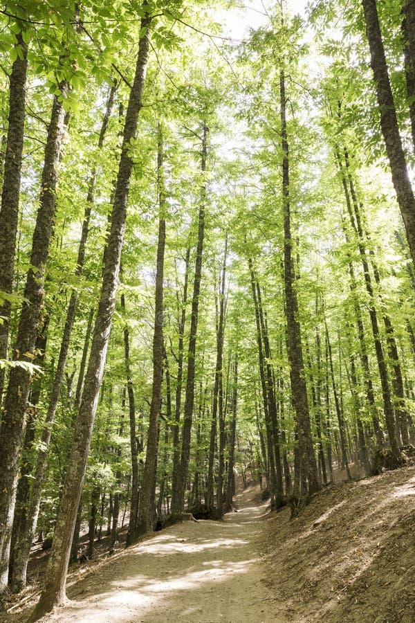 道路在栗树一个老绿色森林里  库存图片
