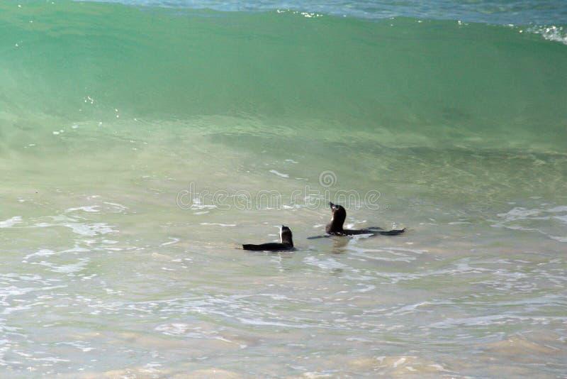非洲企鹅游泳 免版税库存照片