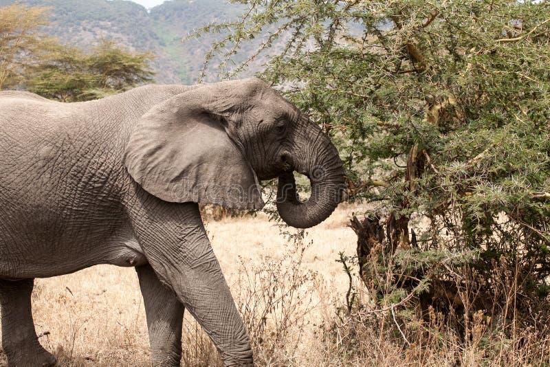 非洲大象吃在灌木的非洲象属africana 免版税库存照片