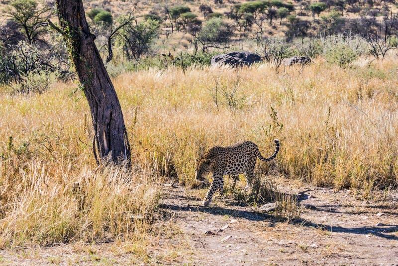 非洲豹子 免版税库存照片