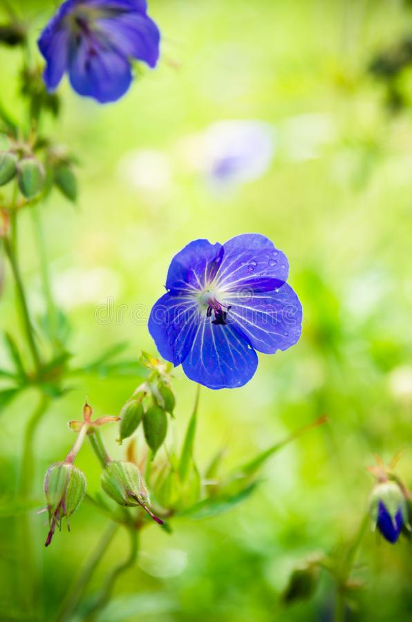 领域的蓝色花,特写镜头 免版税库存图片