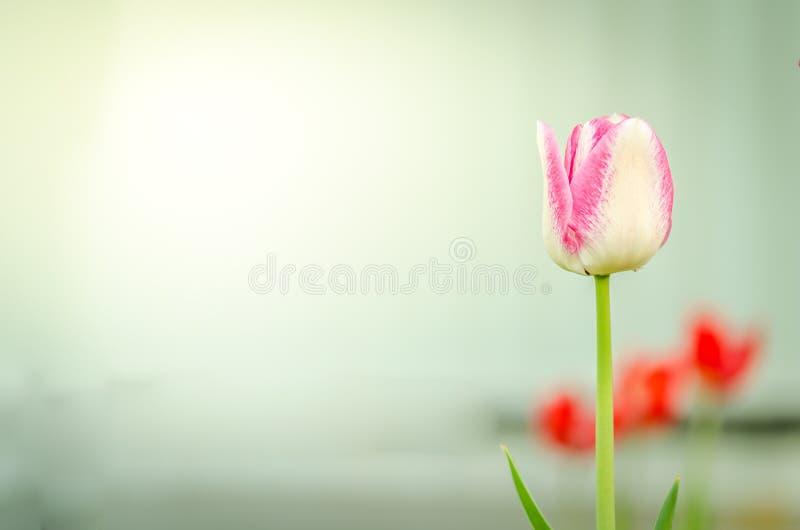 领域花紫罗兰色郁金香 与开花的紫罗兰色郁金香春天花的美好的自然场面 美丽的草甸 背景蒲公英充分的草甸春天黄色 库存照片