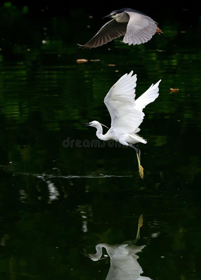 飞行在河的两白鹭,在黑暗的背景中 免版税库存照片