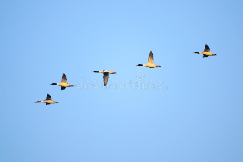 飞行的共同的秋沙鸭 库存图片