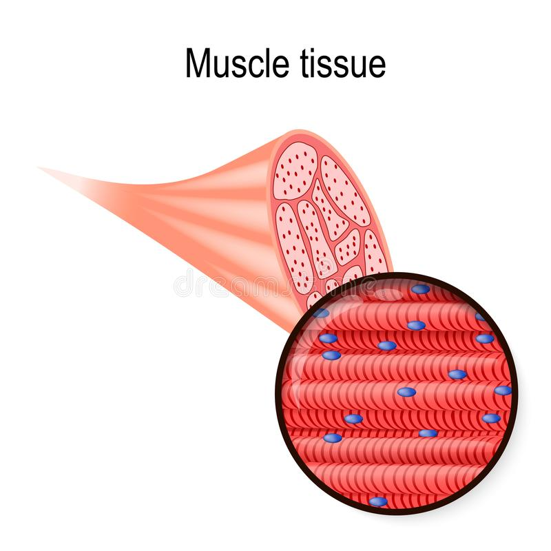 骨骼的肌肉 组织和纤维 向量例证