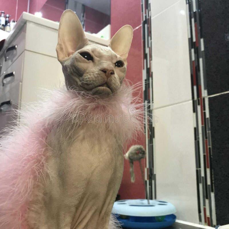骄傲的猫狮身人面象调查距离,包裹在围巾 库存图片