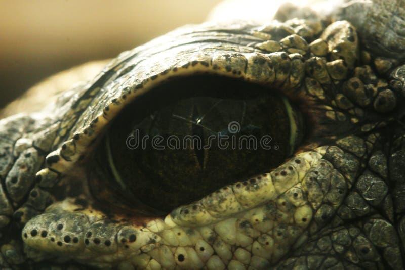 鳄鱼的引人入胜的深度注视 库存图片