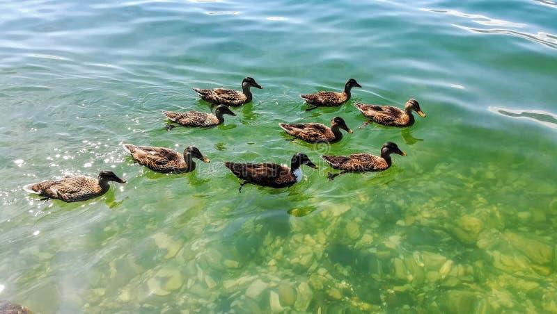 鸭子''寻找午餐的旅团 Lagomaggiore湖  意大利 库存图片