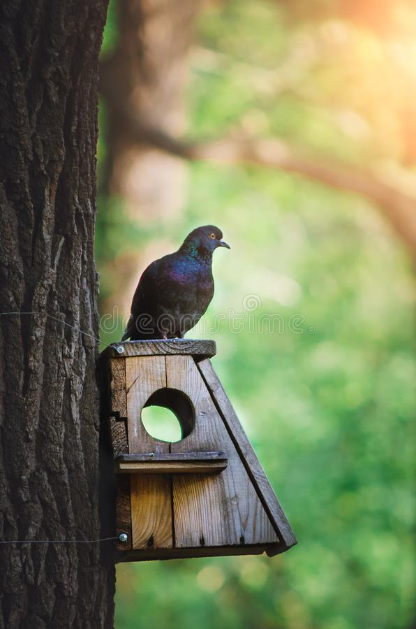鸽子坐一个鸟饲养者在公园 库存照片