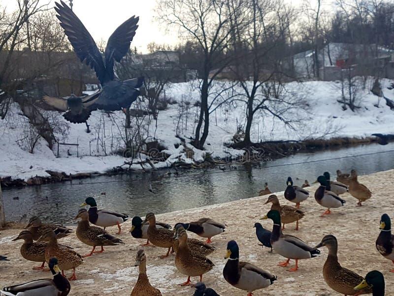 鸽子在他们的河的背景的自然生态环境雪的 免版税库存照片