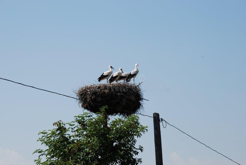 鹳家庭在巢的在电杆 免版税库存图片