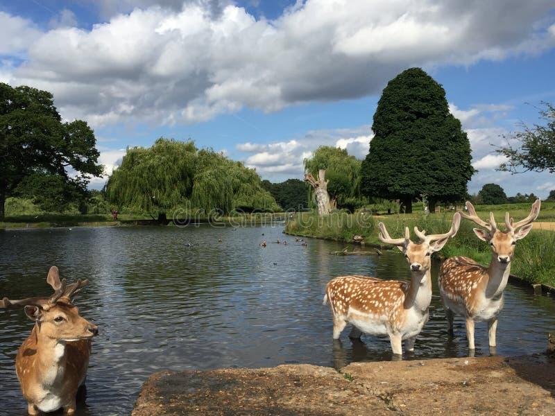 鹿在池塘 库存照片