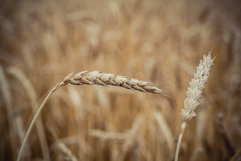 麦子关闭钉在灰领域的背景 库存照片