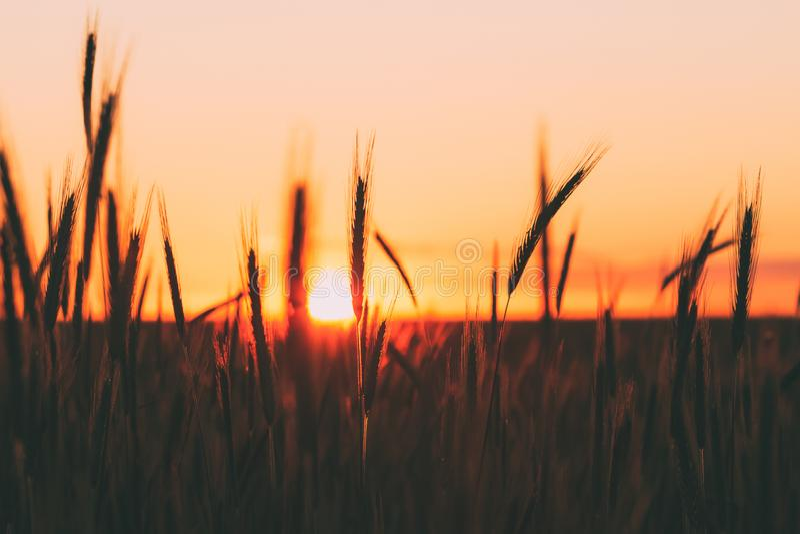 麦子剪影反对风景国家夏天日落背景,温暖的黄色天空的 免版税库存图片
