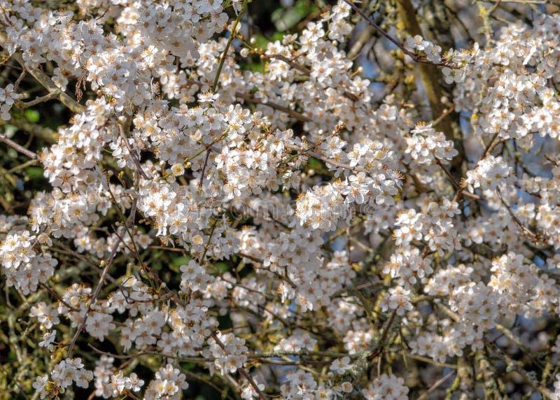 黑刺李开花-李属spinosa,渥斯特夏,英国 免版税库存图片