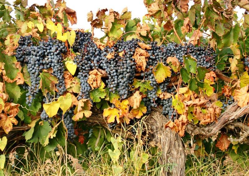 黑暗的葡萄大刷子在藤的 葡萄秋天收获  葡萄拉特 VÃtis叫生活莓果  库存照片