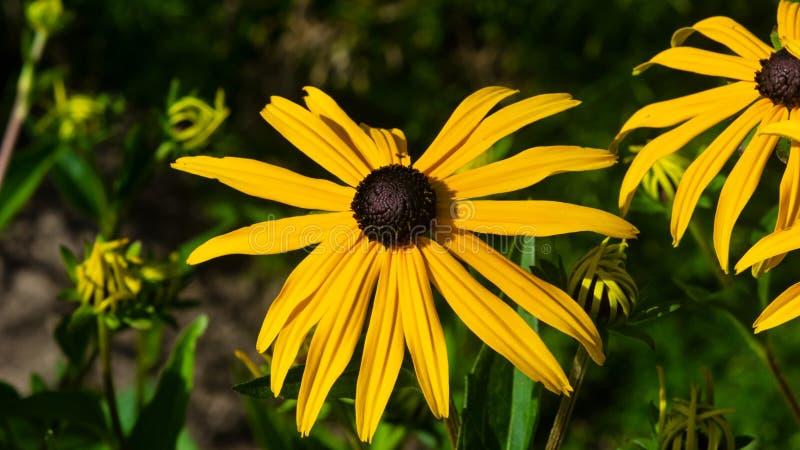 黑眼睛的苏珊,黄金菊hirta,在花圃特写镜头,选择聚焦,浅DOF的黄色花 免版税库存图片