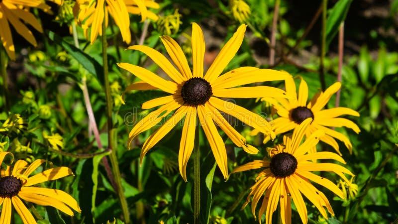 黑眼睛的苏珊,黄金菊hirta,在花圃特写镜头,选择聚焦,浅DOF的黄色花 免版税库存照片