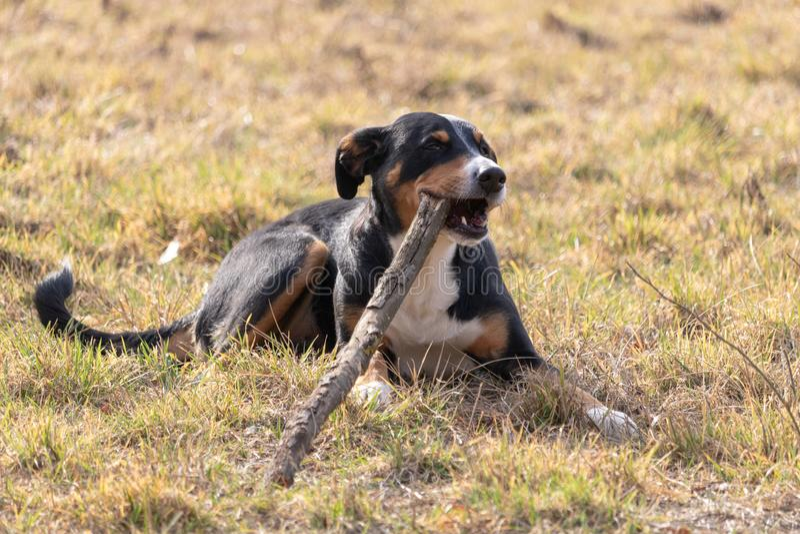 黑白狗在春天 Appenzeller山狗 嚼在棍子的巨大的狗 库存照片