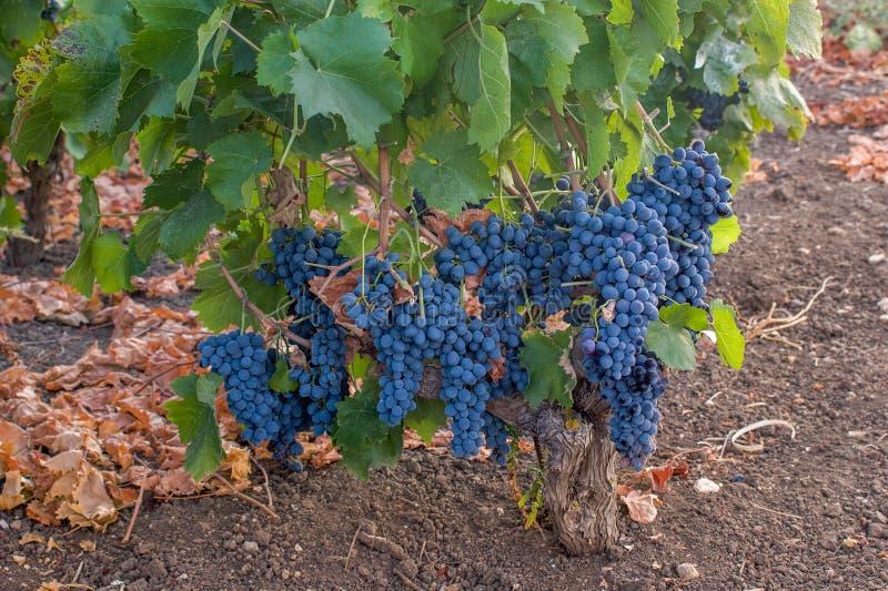 黑酒'尼罗d'阿沃拉'葡萄在西西里岛-意大利 库存图片