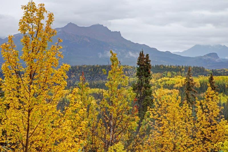黄色叶子,绿色杉木,在阿拉斯加的秋天风景 库存图片