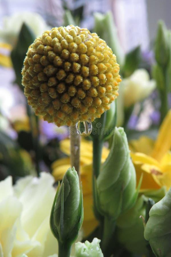 黄色发芽的头状花序种子 免版税图库摄影