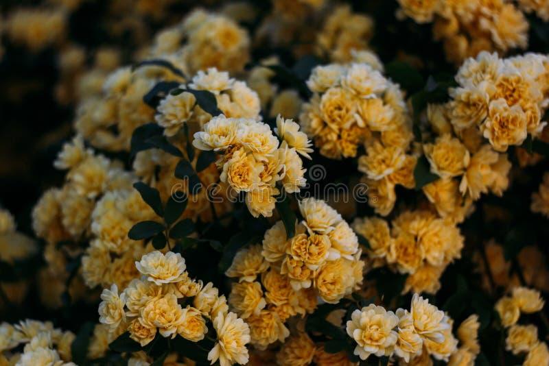 黄色庭院上升了与小花 免版税库存照片