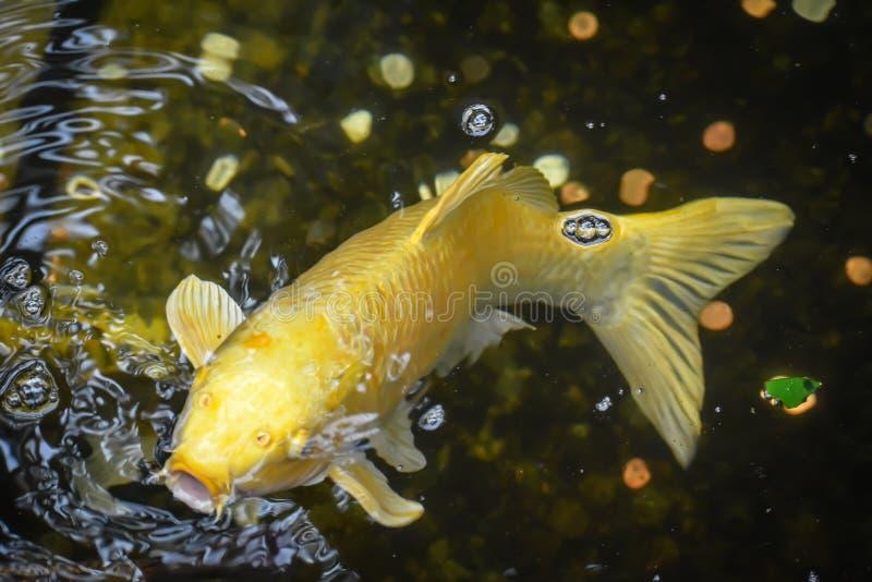 黄色开放鲤鱼鱼游泳的嘴 库存照片