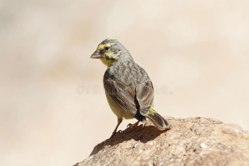 黄色朝向的金丝雀,Crithagra mozambica 图库摄影