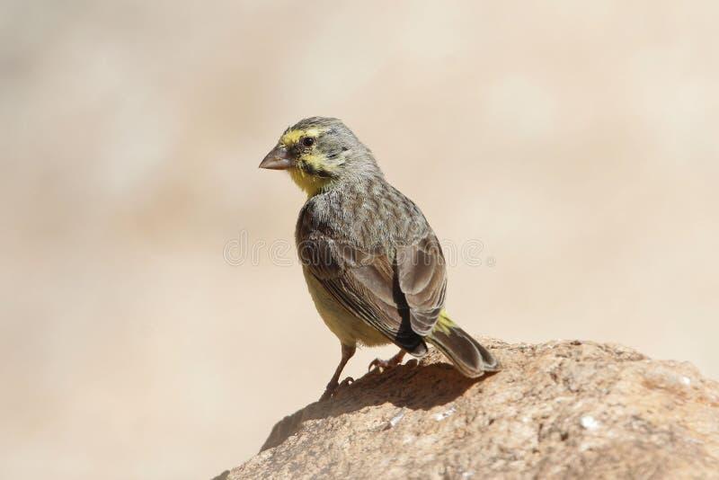 黄色朝向的金丝雀,Crithagra mozambica 免版税库存照片