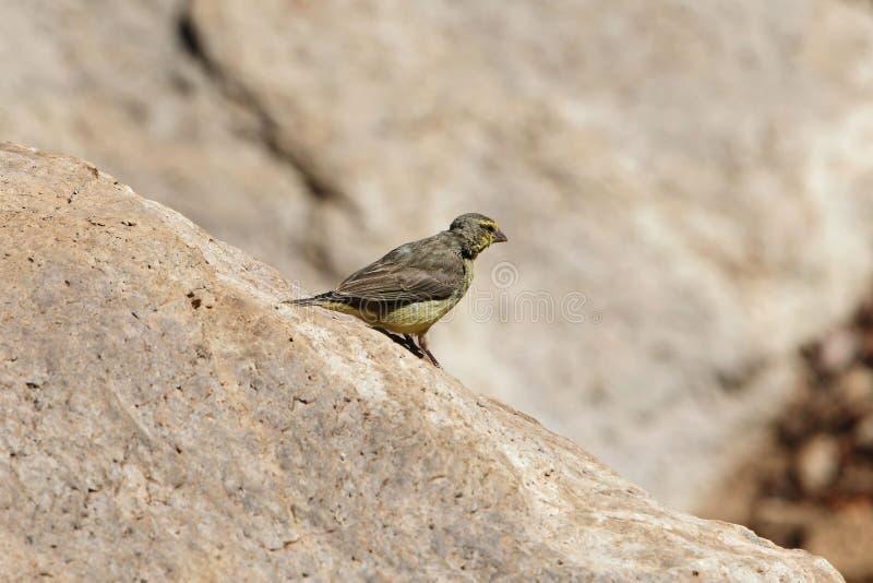 黄色朝向的金丝雀,Crithagra mozambica 免版税图库摄影