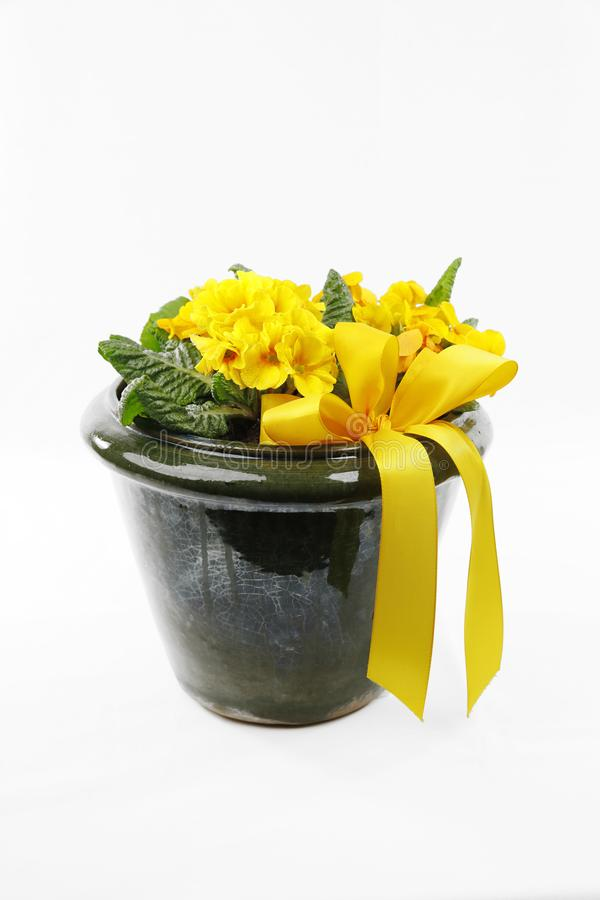 黄色报春花和黄色丝带在花盆 免版税库存图片
