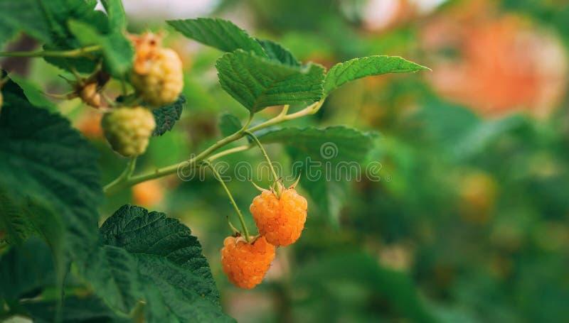 黄色或金黄莓 莓 成熟莓在果子庭院里 全景 图库摄影