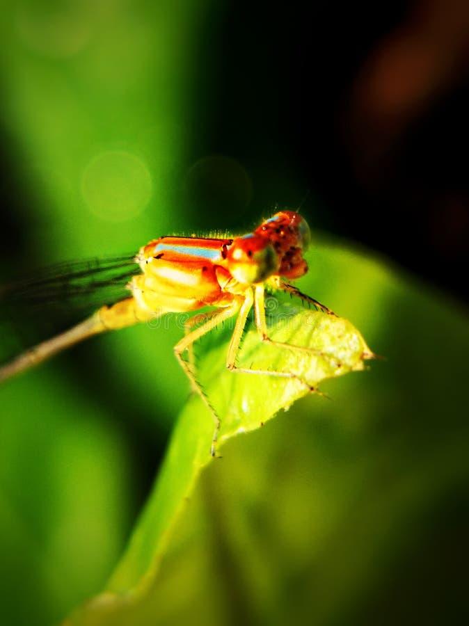 黄色红色蜻蜓 免版税图库摄影