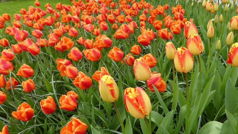 黄色红色郁金香,绿色叶子 春天…上升了叶子,自然本底 图库摄影