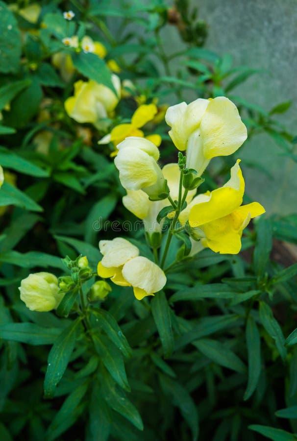 黄色狮子的咽宏指令的花在自然背景的 免版税库存照片