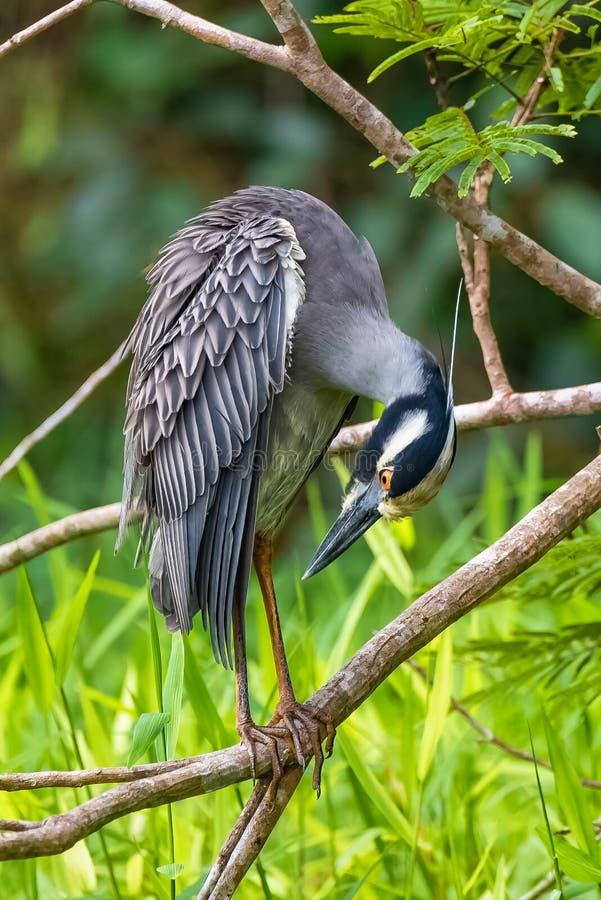 黄色被加冠的夜鹭属,鸟 免版税库存照片