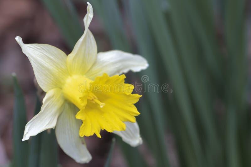 黄色黄水仙花 库存图片
