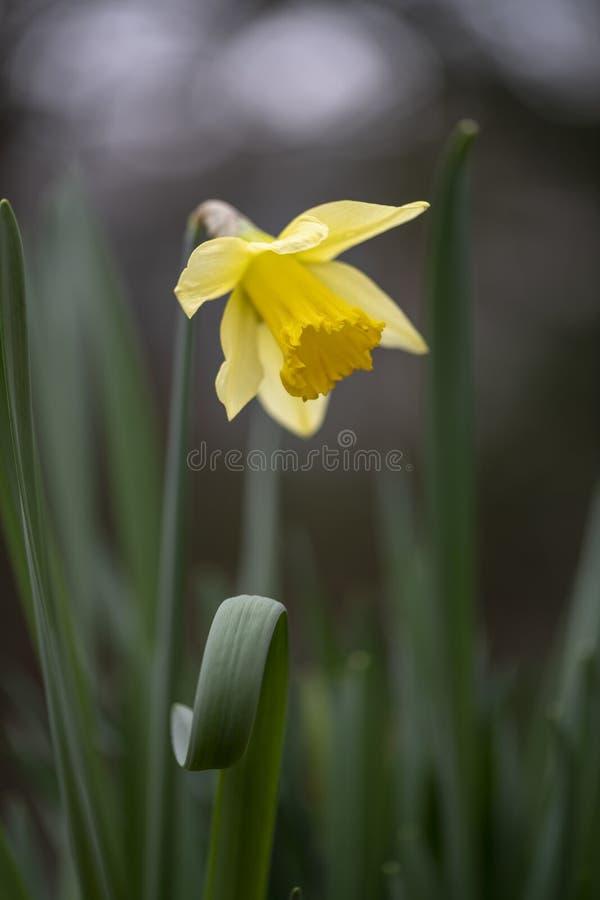 黄色黄水仙花 库存照片