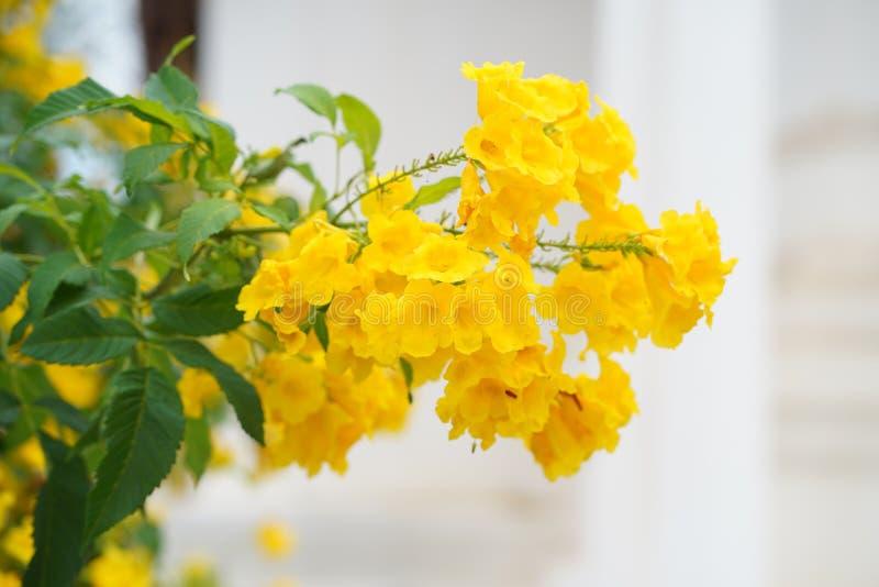 黄色trumpetbush花在庭院里 图库摄影