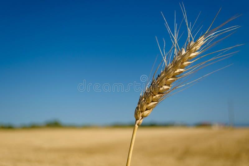 Één aartje van tarwe op blauwe duidelijke hemel in een zonnige de zomer hete dag op een breed geel gebied Seizoen van het oogsten royalty-vrije stock foto's